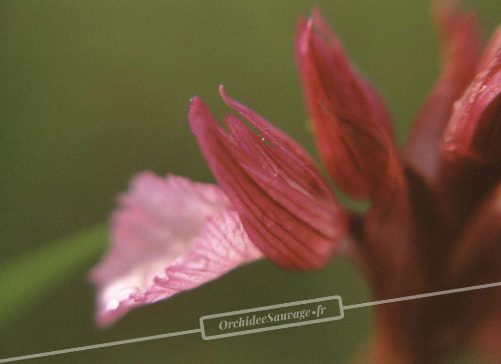 Anacamptis papilionacea subsp. expansa