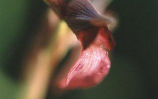 Serapias lingua